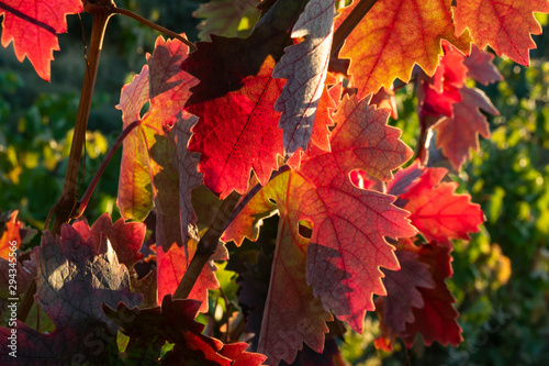 Fotomural Hojas de parra  en otoño