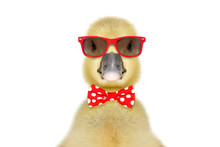 Portrait Of A Funny Little Gosling In Red Sunglasses And Bow Tie, Isolated On White Background