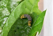 Caterpillar On Leaf, Photo As ...
