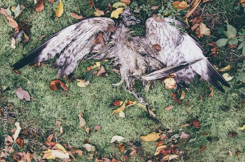 Photo cadavre dépouille d'un oiseau mort au sol