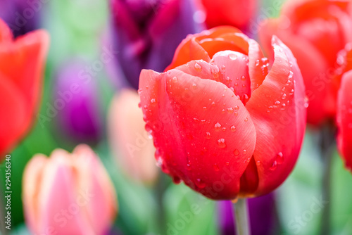 Red fresh tulips with morning light and water drops on leaves. Beautiful flowers bokeh blossom.