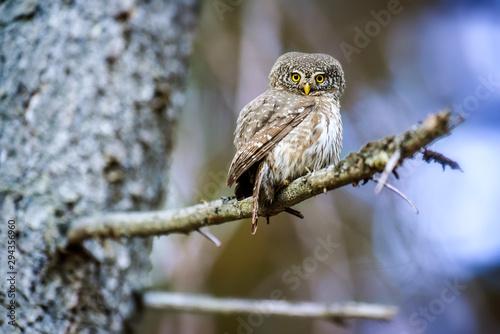 Naklejki Sowa   small-beautiful-owl-in-forest-on-branch-in-spruce-forest-the-eurasian-pygmy-bird