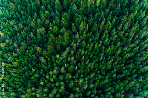 Forets Spruce forest of the Ukrainian Carpathians, top view of picturesque centuries-old trees.