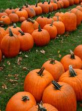 Pumpkins On Farm In Autumn