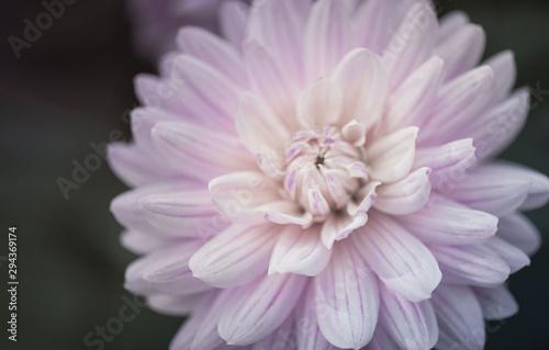 Fototapety, obrazy: Chrysanthemum flower. Pale pink petals on a dark background.