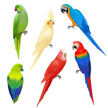 Parrots Realistic. Wildlife Flight Exotic Colored Birds Beautiful Amazonia Tropical Life Vector Parrots Illustrations. Illustration Parrot Bird Realistic, Wildlife Tropical Animal