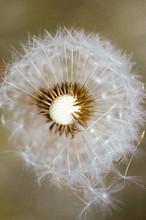 Wild Dandelion Flower Taraxacu...