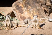 Meerkat (Surikate) Standing Gu...