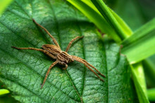 Wolf Spider Which Waits In Ambush To Catch Its Prey