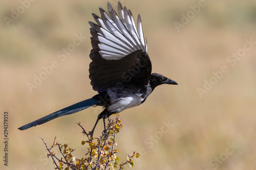 Photo Beautiful Magpie in Rocky Mountain National park
