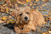 Norfolk Terrier Brown Red