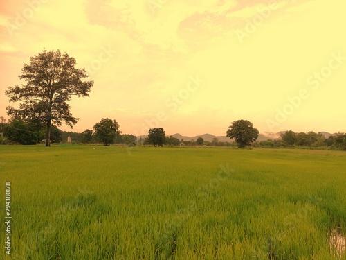 Foto auf Gartenposter Gelb Schwefelsäure Rice fields with the Orange Sun is beautiful images.