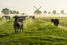 Cows In The Dutch Countryside ...