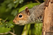 A Female Eastern Grey Squirrel...