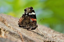 Under-wing Shot Of A Red Admiral (Vanessa Atalanta) Butterfly At Rest On A Tree Stump.