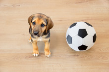 Dog Playing With A Soccer Ball