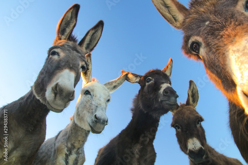 Photo sur Aluminium Ane Portrait of five curious funny donkeys