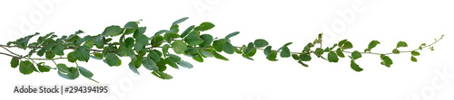 Fotografiet Green leaves Vine isolated, ivy jungle creeper tropical against white background