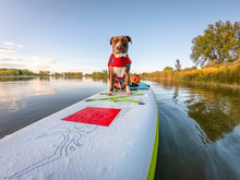 Pit Bull Dog On Stand Up Paddleboard