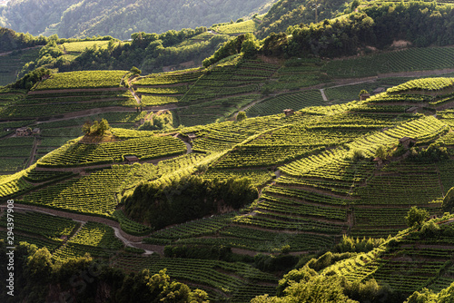 Photo Terraced fields with green vineyards at summer, Italian Alps, Trento Province, T