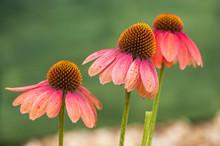 Closeup Of Pink Echinacea On G...