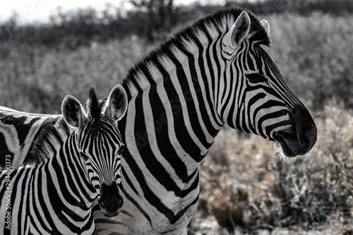 Poster de jardin Zebra Zebre au par national d'etosha en namibie
