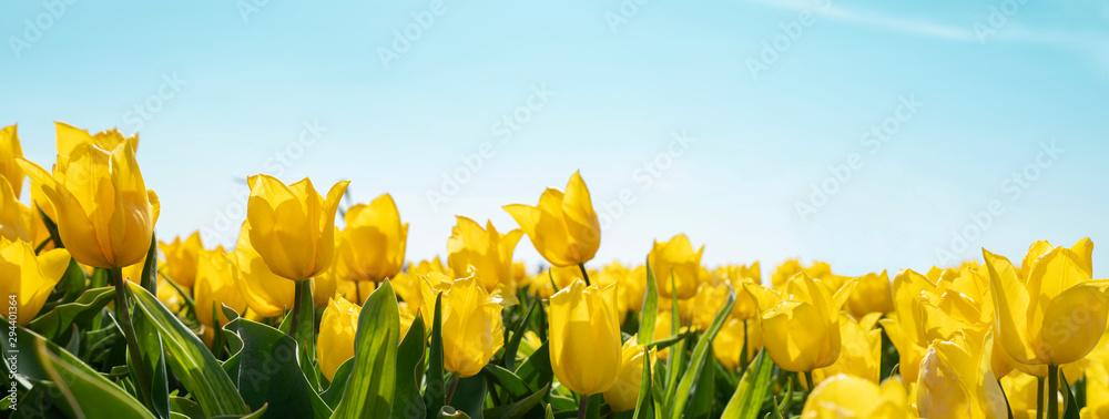 Fototapety, obrazy: yellow tulips on field