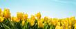 yellow tulips on field