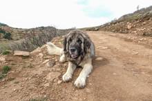 Kangal Dog (anatolian Sheepdog) Resting.