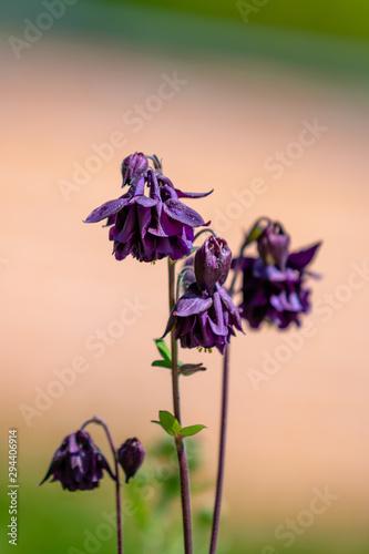 Photo Dark purple aquilegia flowers in summer sunlight