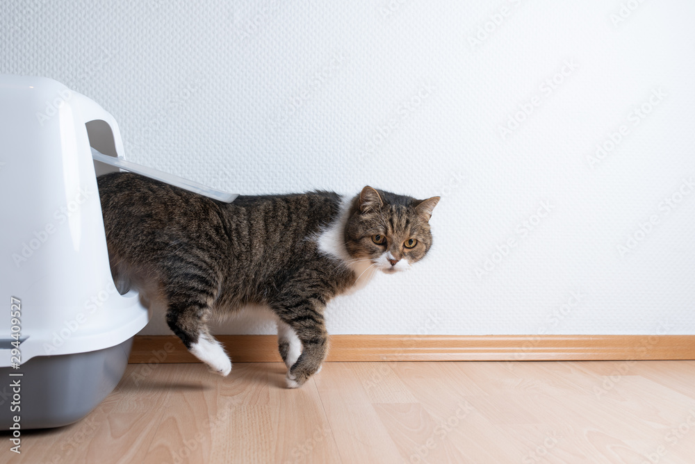 Fototapeta side view of tabby british shorthair cat leaving hooded gray cat litter box with flap entrance on wooden floor in front of white wall with copy space looking to the side