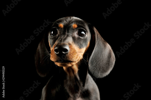 Papel de parede Portrait of and adorable Dachshund puppy
