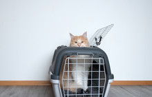 Ginger Maine Coon Cat Looking Out Of A Pet Carrier Standing In Front Of White Wall With Copy Space