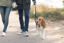 Pet, Domestic Animal And People Concept - Couple Walking With Beagle Dog On Leash In Autumn
