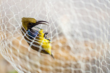 Yellow-bellied Sunbird,The Bir...
