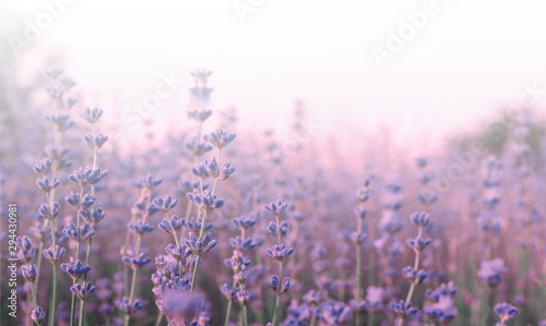 Foto auf AluDibond Lavendel Lavender flowers in field