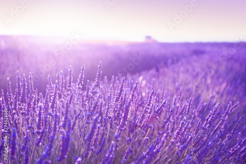Foto auf Gartenposter Flieder Blooming lavender fields at sunset in Provence, France. Beautiful summer nature background