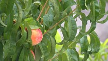 Raindrops Falling On Peach Tree