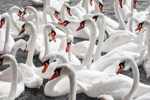 Huge Family Of Swans Gathering...