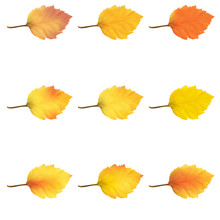 Realistic Alder Tree Leaves In Changing Fall Colors.