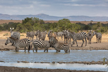 A Dazzle Of Zebras At The Wate...
