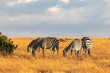 A Herd of Grevy's Zebras Grazing on Golden Grasses, Ol Pejeta Conservancy, Kenya, Africa