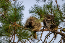 Young Porcupines In A Pine Tree