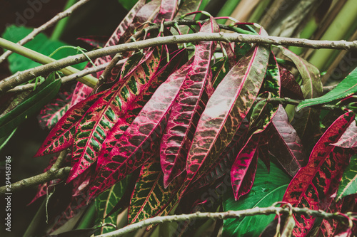 Summer tropical background. Beautiful flowers Croton Plant in the garden.