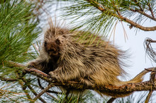 Young Porcupine In A Pine Tree