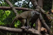 Allen's Swamp Monkey From Lowl...