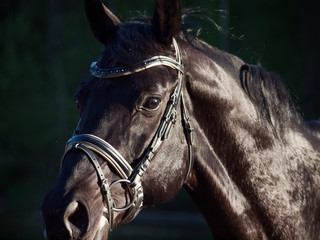 portrait of Beautiful black stallion at forest background. close  up