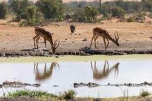 Side By Side Gazelles Reflecte...