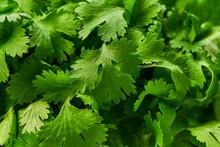 Fresh  Green Cilantro Close-up...
