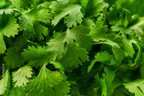 Fresh  green cilantro close-up, food background. Canvas Print